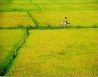 Paddy fields in Vietnam gather mainly in the Red River Delta and the Mekong Delta.